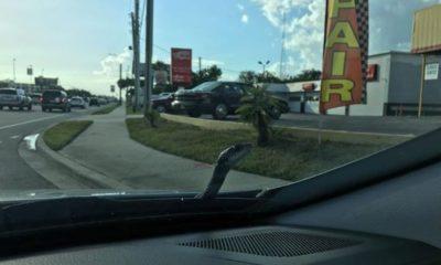 snake-pops-out-from-car-bonnet