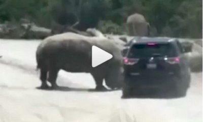 angry rhino attack suv