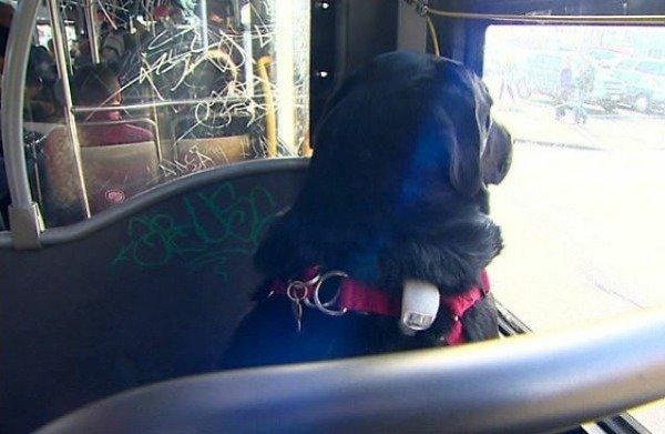 eclipse-dog-rides-brt-bus-seattle-autojosh