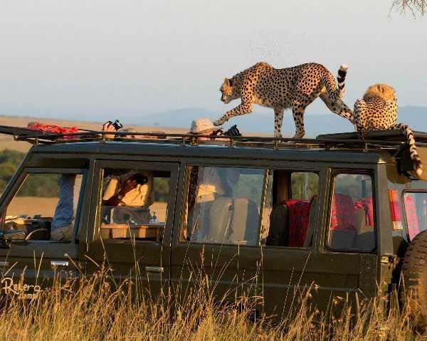 cheetahs-jumps-atop-tourists-safari-jeep-suv