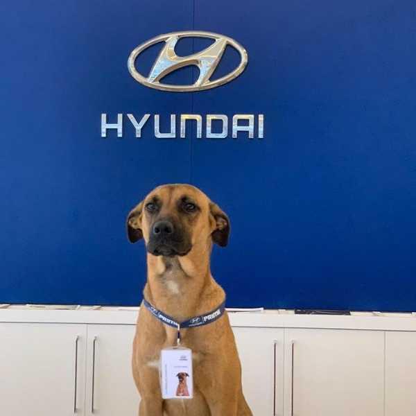 hyundai-showroom-adopts-street-dog-car-salesman