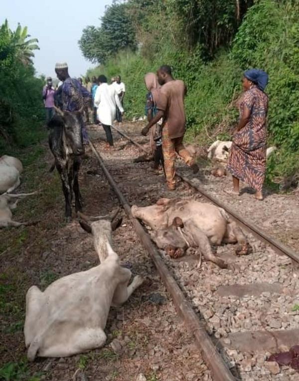 Train Detaches From Coaches, Kills 47 Cows Worth ₦10m In Osun - autojosh