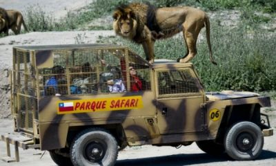 This Caged Safari Jeep Was Specially Designed To Allow Tourists To Move Closer To Lions - autojosh