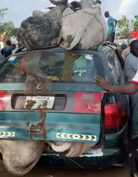 WATCH : VW Station Wagon Spotted Carrying Seven Cows In Abuja - autojosh
