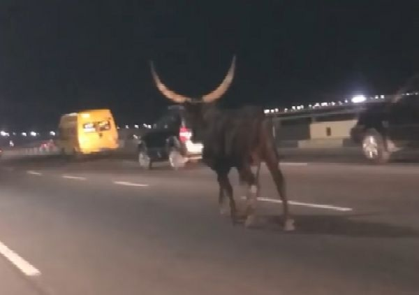 Motorists Shocked After Runaway Cow Was Spotted Yesternight On Ever Busy 3rd Mainland Bridge - autojosh