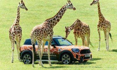Mini Countryman PHEVs Deployed Around UK Safari Park - autojosh